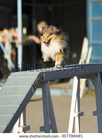 Dog agility in action on a summer evening on a sand track. The dog breed is shetland sheepdog. - stock photo