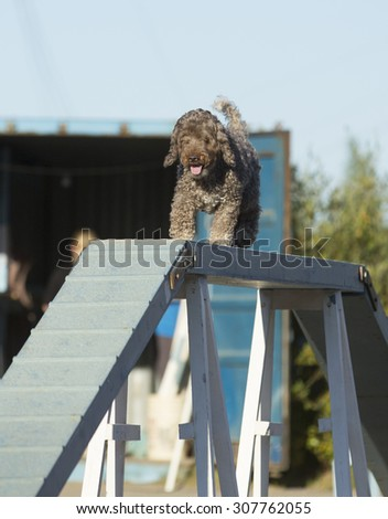 Dog agility in action on a sunny summer evening. Image taken on a sand track. The dog breed is a lagotto romagnolo also known as the truffle dog.