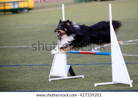Dog agility. Lovely and cute dog with funny face. Interesting dog breed. Dog photography outdoor. Dog for dogs sport - agility, obedience, frisbee, hunting. Animal shot capturing dog. - stock photo