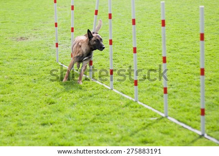 dog agility slalom - stock photo