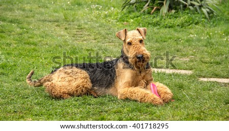 dog Airedale Terrier with a toy, portrait on a grass background