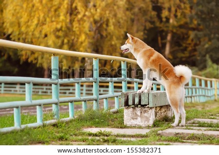 Dog Akita Inu on autumn walk - stock photo