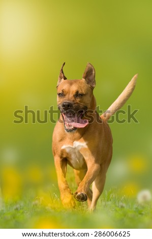 dog; American Staffordshire Terrier; Pit bull jumps over a meadow with yellow flowers - stock photo