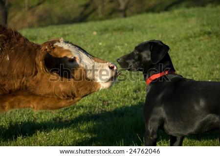 Dog And Calf Very Close - stock photo