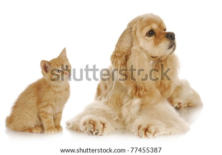 dog and cat - american cocker spaniel and young kitten together on white background - stock photo