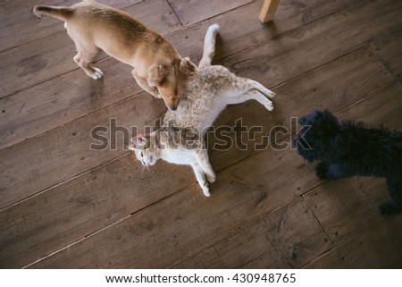 Dog and cat best friends playing together. A cat is lying on the floor. Lifestyle photography. Overhead view, top down shot.  - stock photo
