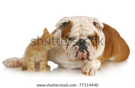 dog and cat - english bulldog and young kitten together on white background - stock photo
