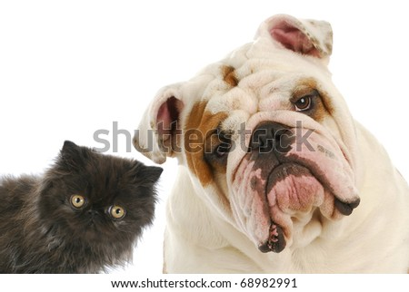 dog and cat - persian kitten and english bulldog looking at viewer - stock photo