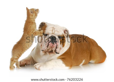 dog and cat playing - english bulldog and kitten playing on white background - stock photo