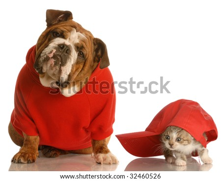 dog and cat playing - english bulldog in red sweater and kitten playing under baseball cap - stock photo