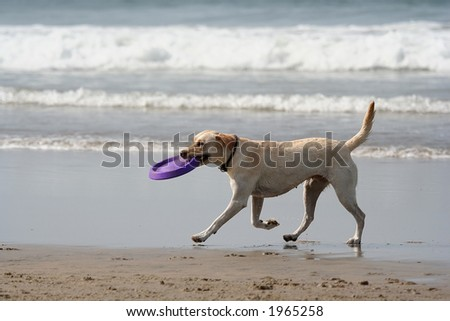 dog and disc in the beach - stock photo