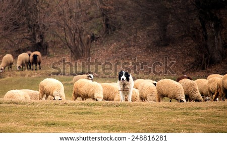 dog and herd of sheep in sunny autumn field  - stock photo