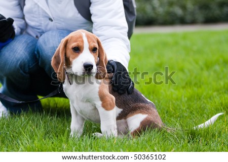 Dog and human on green meadow. Beagle puppy - stock photo