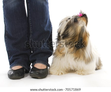 dog and owner - shih tzu puppy sitting looking up at owner on white background - stock photo