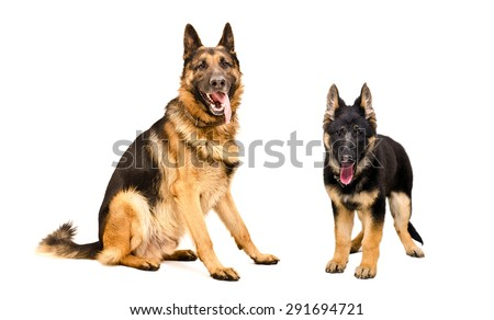 Dog and puppy German Shepherd together isolated on white background - stock photo
