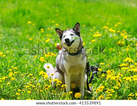 Dog and yellow spring dandelions. The dog - Siberian huskies lies in a grass on a meadow. - stock photo