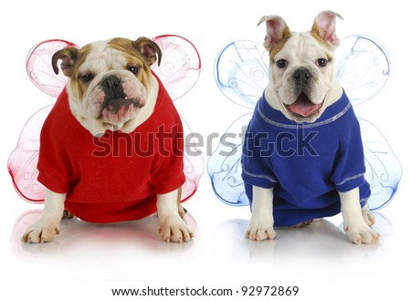 dog angels - two english bulldogs wearing angel costumes