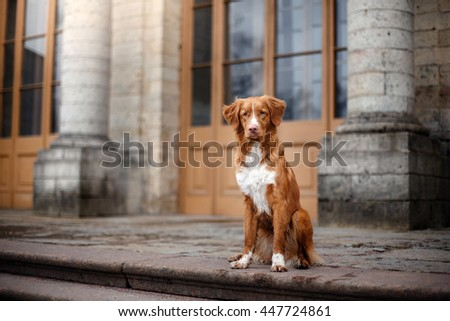 dog at a building Nova Scotia Duck Tolling Retriever