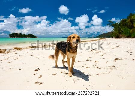Dog at beach. Seychelles, Praslin, Cote d'Or - stock photo