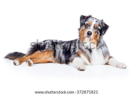 Dog Australian Shepherd Blue Merle lies and looks cute - stock photo