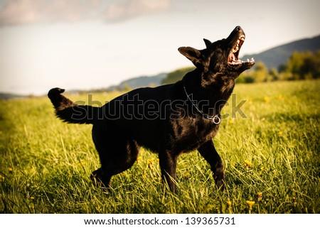 dog barking - stock photo