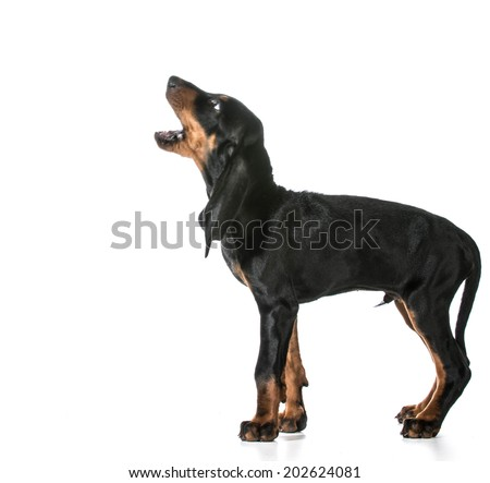 dog barking - black and tan coonhound barking isolated on white - stock photo