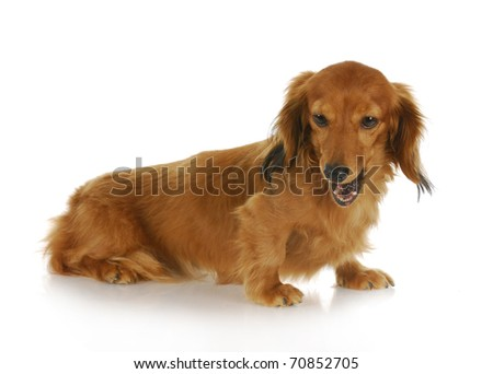 dog barking - miniature dachshund with mouth open barking with reflection on white background
