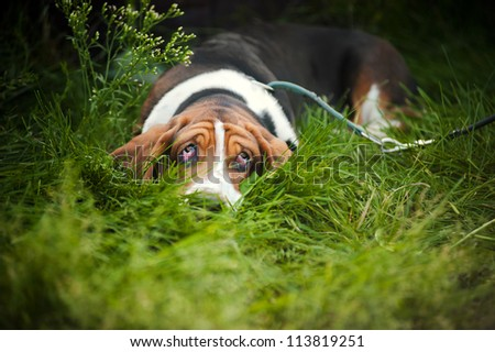 Dog Basset hound laying on the grass and looks up - stock photo