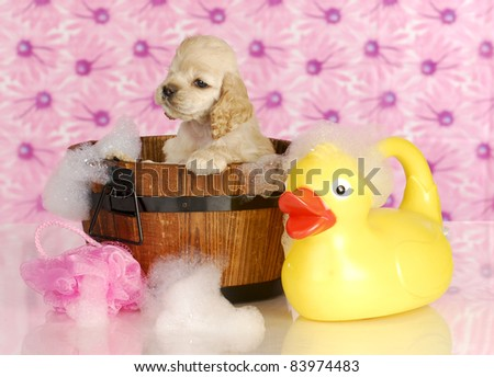 dog bath - american cocker spaniel in wash tub full of bubbles with rubber duck - stock photo