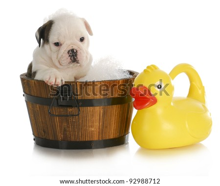 dog bath - english bulldog puppy sitting in tub with soap suds and rubber ducky - stock photo