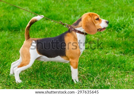 dog Beagle breed standing in rack on a tight leash on green grass  - stock photo