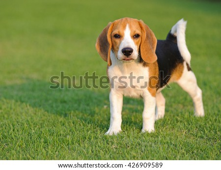Dog Beagle breed standing on green grass - stock photo