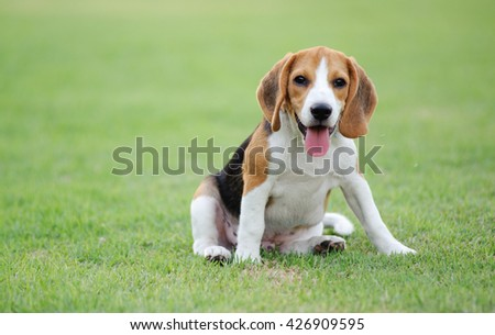 Dog Beagle breed standing on green grass focus at the eyes - stock photo