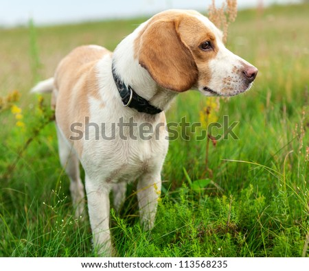 Dog beagle on green meadow. dog hunting - stock photo