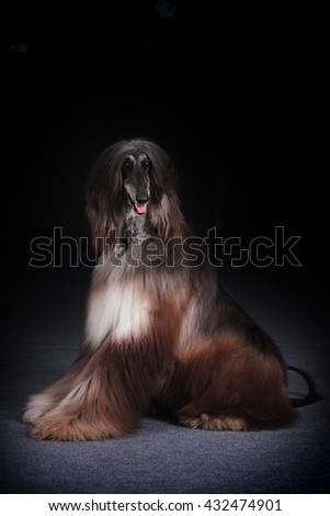 dog beautiful Afghan hound sits on a black background and looks