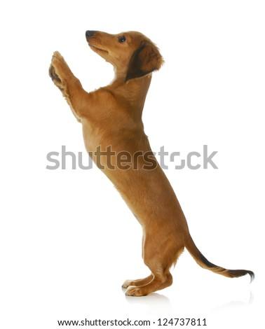 dog begging - long haired dachshund jumping up isolated on white background - stock photo