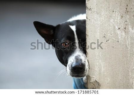 dog behind wall. - stock photo
