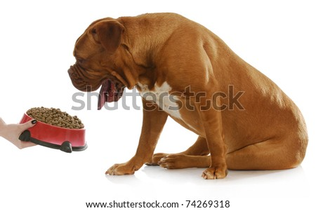 dog being fed - dogue de bordeaux with funny expression waiting to be fed on white background - stock photo