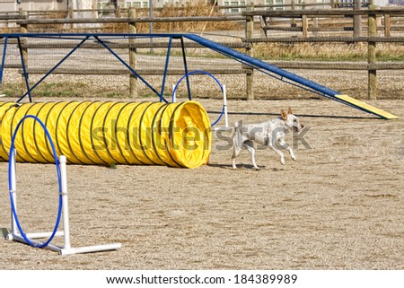 Dog being trained in agility coming out of tunnel - stock photo