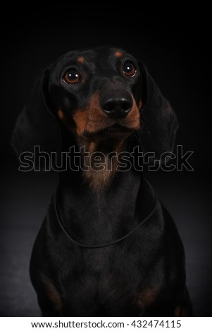 dog black and tan German smooth-haired Dachshund, closeup portrait in Studio