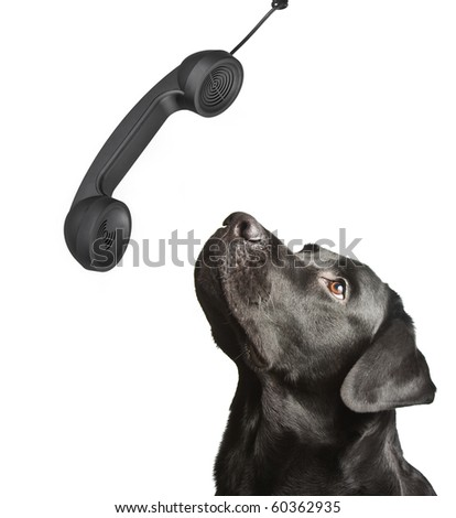dog black labrador looks upwards on phone tube. isolated on white - stock photo