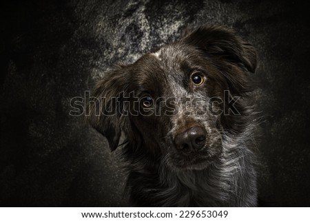 Dog border collie portrait long brown coat looking in front camera