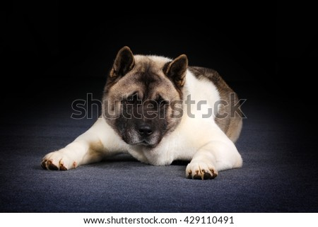 Dog breed Akita inu lies in the Studio and stares - stock photo