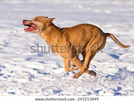 Dog breed American Pit Bull Terrier running in snow - stock photo