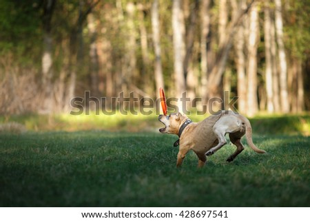 Dog breed American Staffordshire Terrier walking and playing  - stock photo