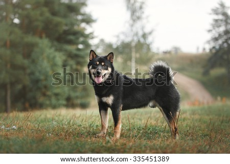 Dog breed black Japanese Shiba walking in autumn park