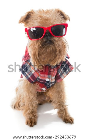 Dog breed Brussels Griffon red glasses, isolated on white - stock photo