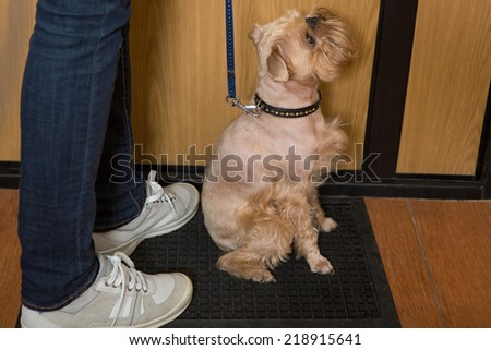 Dog breed Brussels Griffon waiting for a walk - stock photo