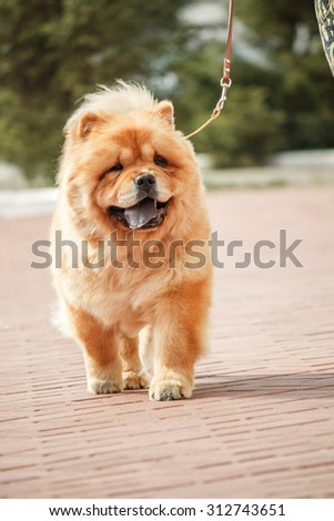 dog breed chow-chow on a blurred background - stock photo