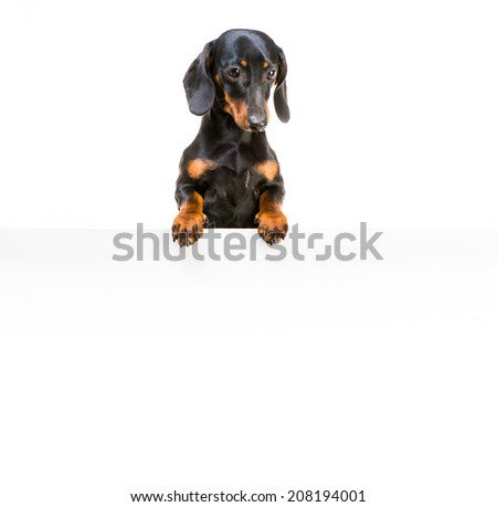 dog breed dachshund with a whiteboard for your text - stock photo